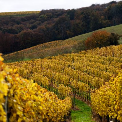 The vineyards in the Jurancon region of Southwest France, grow Gros Manseng and Petit Manseng grapes for sweet white wine.